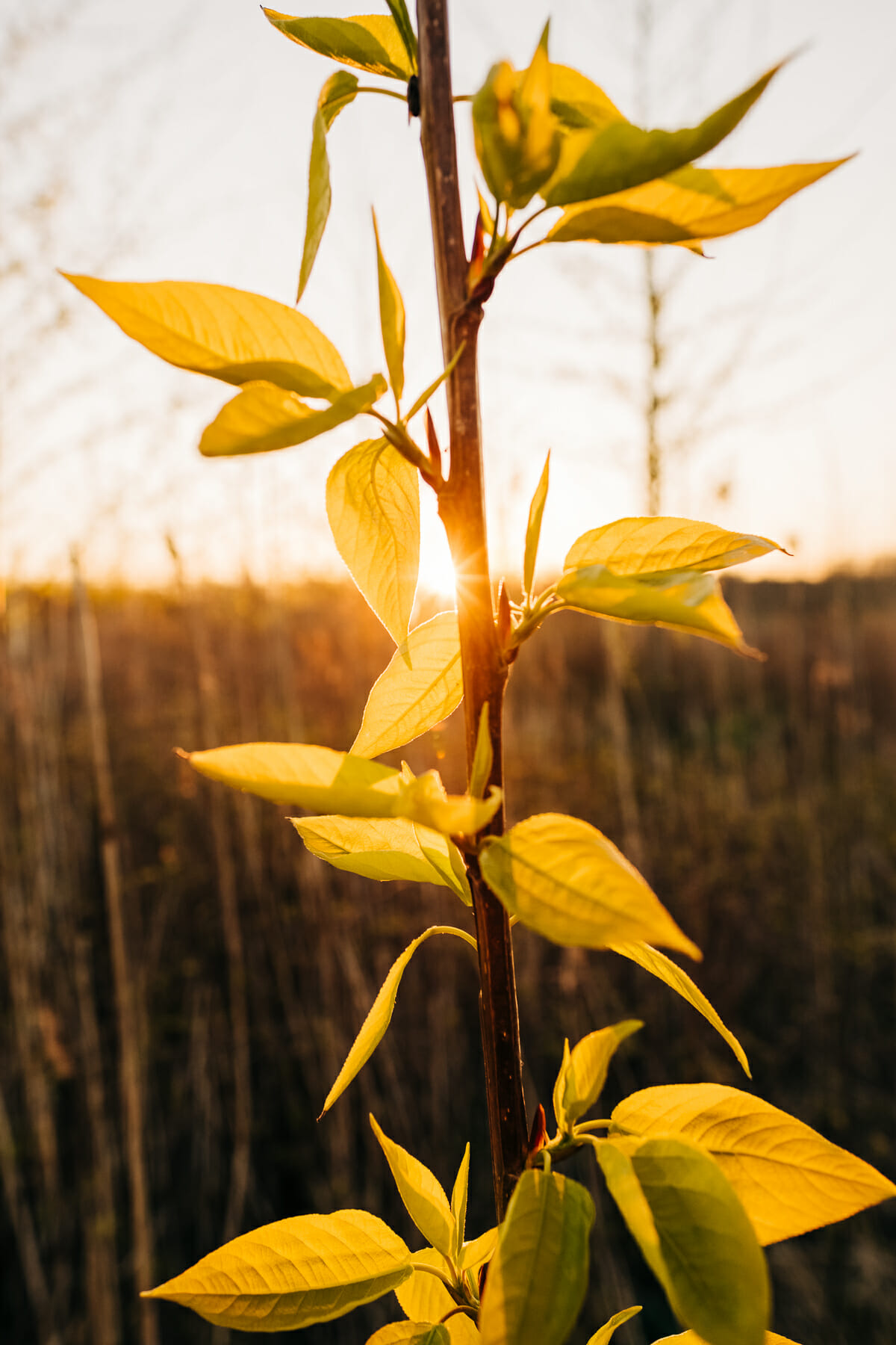 Spring and fresh leaves and sunrise at Almere Pampushout